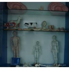 Modelo de acupuntura masculino e feminino com tamanhos diferentes