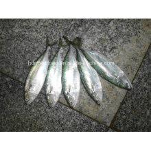 Замороженная рыба Индийская скумбрия для продажи