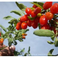 2018 new fresh Non GMO Goji Berry