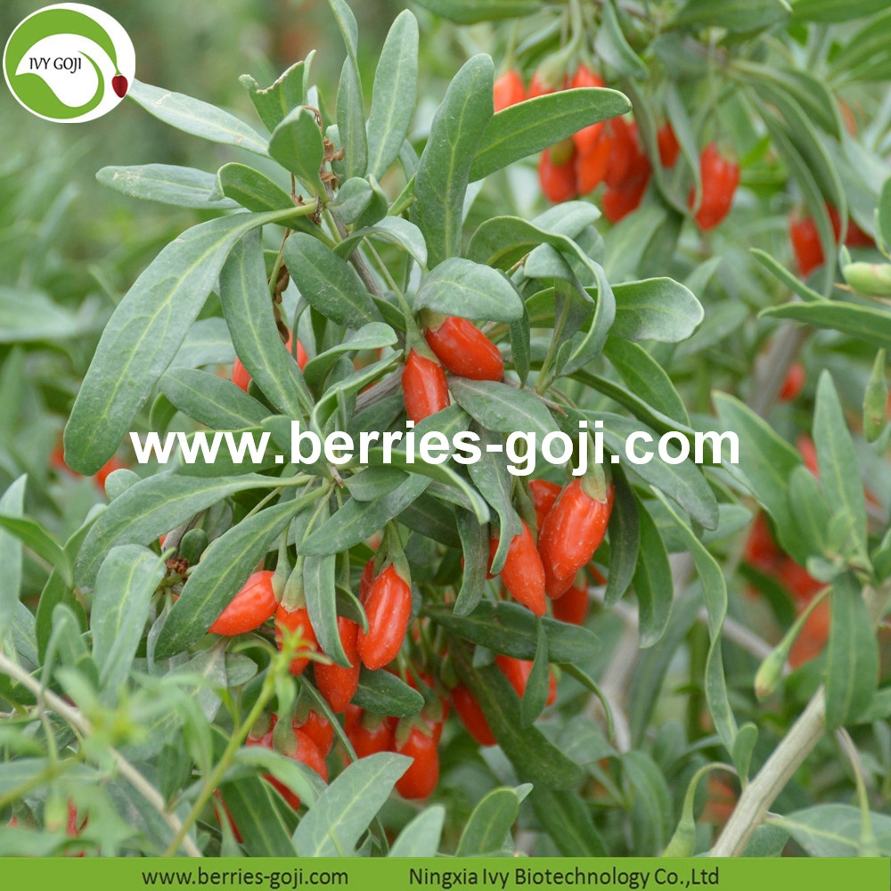 Common Goji Berry