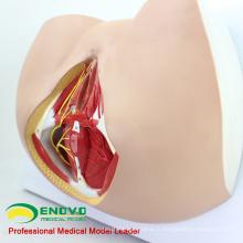 VENDRE 12462 Anatomie et biologie grandeur nature Éducation Modèle féminin de périnée