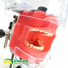 VENDRE 12560 simulateur de tête fantôme pour l'étude orale