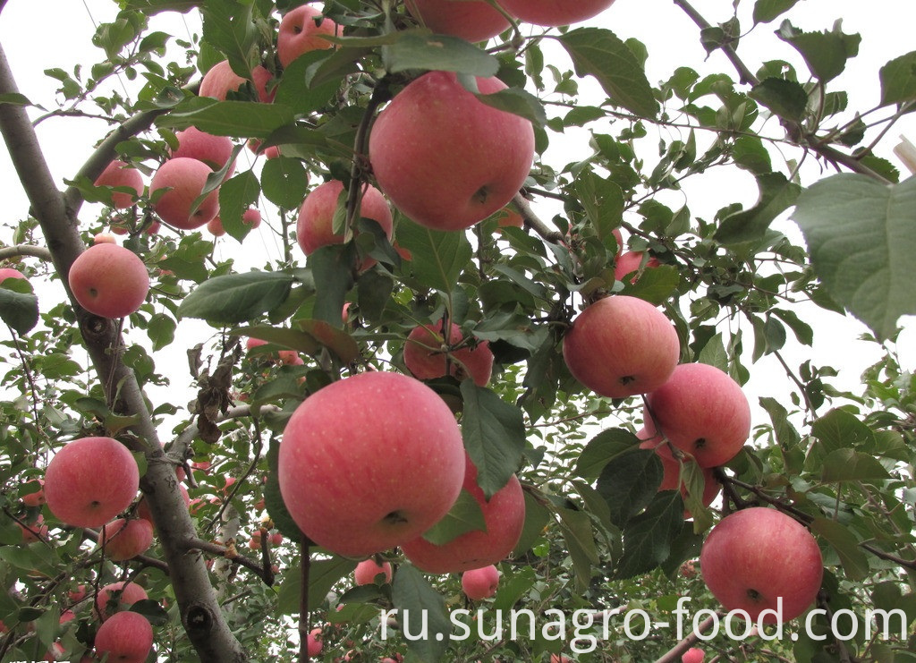 Affordable red Fuji apples