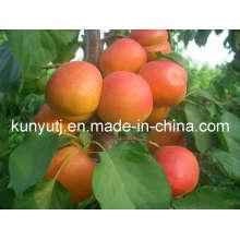 Purée d'abricot à haute qualité