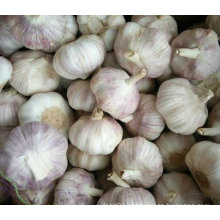 Top Quality of New Crop Fresh White Garlic