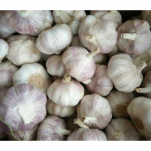 Qualidade superior da colheita nova Alho branco fresco