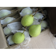 Fresca perla de shandong al por mayor / China Ya pera fresca para la exportación