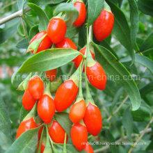 Medlar Ningxia Goji Berry Wolfberry