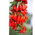 baya de Goji fresca de la venta caliente por completo con la vitamina