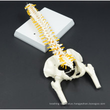 Hot selling Didactic Spine Model