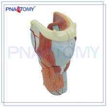 PNT-0440 Les cartilages larynx expansion anatomie modèle anatomie plastique modèle