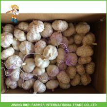 Fresh Garlic 5.0cm 5.5cm Pure White