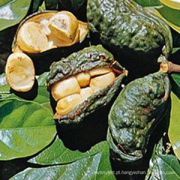 Perda de peso Kola Nut Extract 10: 1