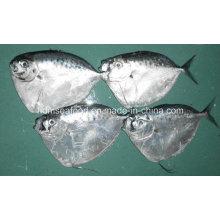 Замороженная круглая лунная рыба