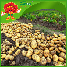 fresh potato factory on sale/ the lowest price of fresh potatoes