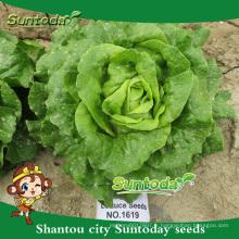 Suntoday légumes F1 bio romaine cos organique en vrac laitue image semer des graines (32001)