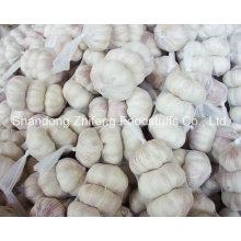 Chine Shandong ail blanc normal
