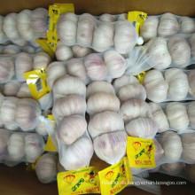 Lila gute Qualität chinesischer Knoblauch