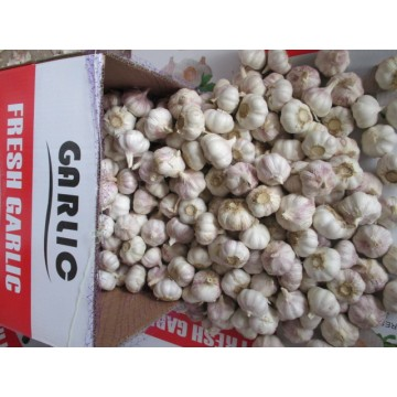 Exportieren Sie Standard Fresh Normal Garlic 2020