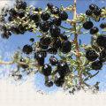 Medlar BCS Certificate Organic Black Goji Berry