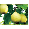 2016 New Crop Fresh Pear Supplier with Own Factory.
