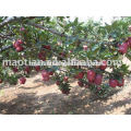 Red Delicious de China West High Land
