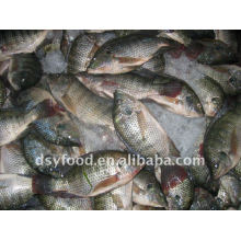 frozen tilapia whole round W/R