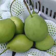 Poire Shandong fraîche de couleur verte