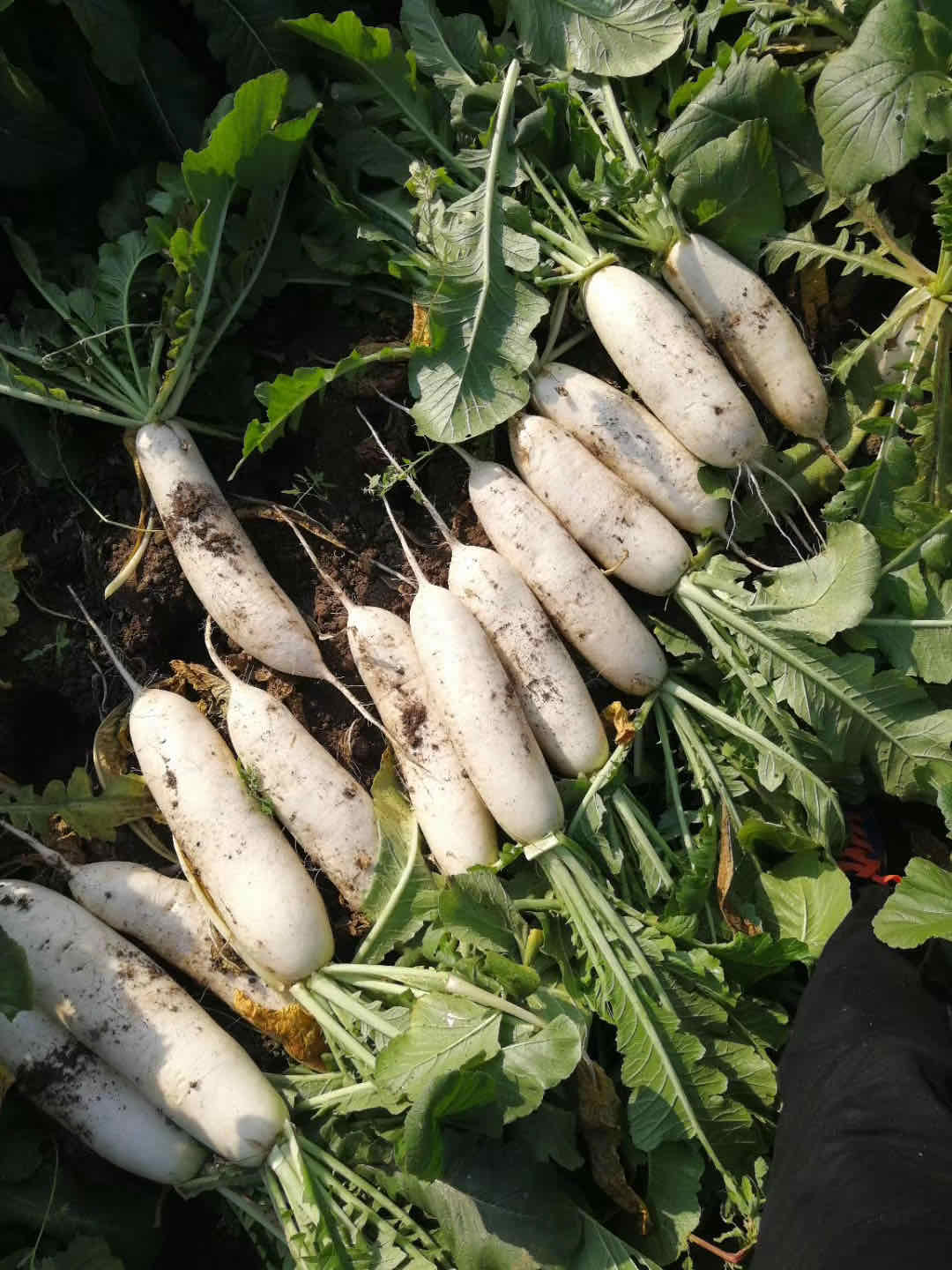 Water Washed White Radish