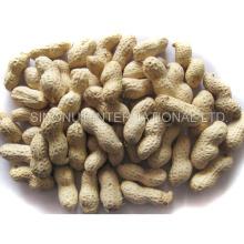Neue Ernte Erdnüsse in Shell