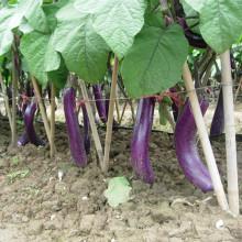 HE17 Сяо длинные фиолетовый красный гибридные семена баклажан