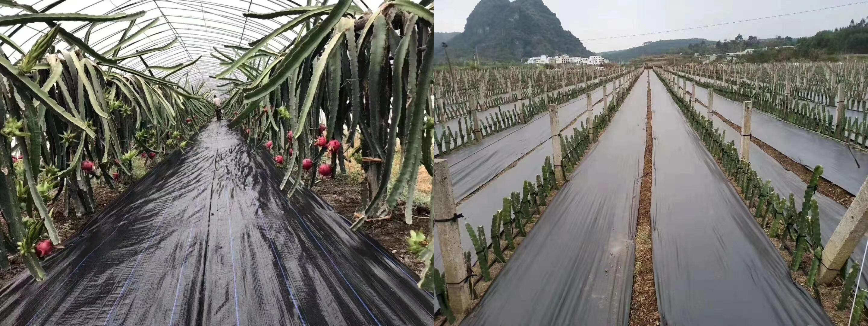 black weed mat for dragon fruit