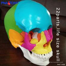PNT-1159 natural size PVC anatomical 22 parts colored skull model
