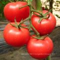 Graines de tomate hybride HT23 Souji f1 à haut rendement, adaptées à la culture en serre