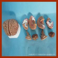 Modèles pédagogiques en soins infirmiers éducatifs du cerveau humain (8 parties)