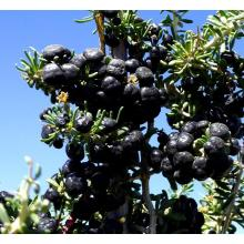 wolfberry preto orgânico natural