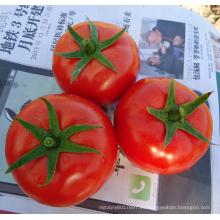 HT25 Bagai gran crecimiento determinado f1 híbrido semillas de tomate vegetal chino