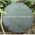 MW25 Shense deep green hybrid seedless watermelon seeds for planting