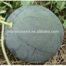 MW25 Shense sementes de melancia sem sementes híbridas verdes profundas para o plantio