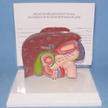 Modèle d'anatomie médicale du foie humain et de la vésicule biliaire avec base (R100107)