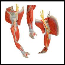 Modèle d'anatomie musculaire ISO, bras musculaire avec des navires principaux et des nerfs