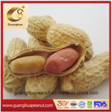 Roasted Peanut in Shell Good Quality for Sale