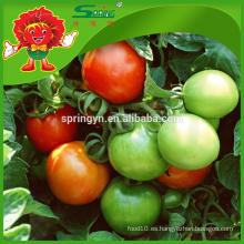 Invernaderos agrícolas para tomate tomate rojo sol