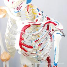 SKELETON03-1 (12363-1) squelette médical médical de taille de la vie de la science médicale avec des muscles et des ligaments, modèle de squelette de 170cm