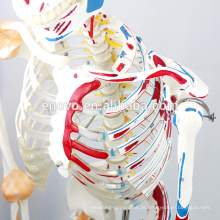 SKELETON03-1 (12363-1) Medical Science Life Size Esqueleto Médico Flexível com Músculos e Ligamentos, 170cm Modelo de Esqueleto