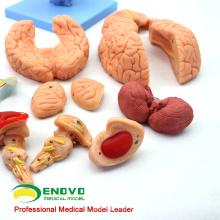 BRAIN06 (12403) Modèle anatomique anatomique du cerveau, modèle anatomique du cerveau, 15 pièces