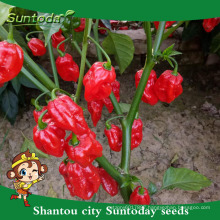 Suntoday cultivation of agricultue sichuan pickled jalapeno F1hot pepper chilli hebanero seeds hybrid vegetable(22021)