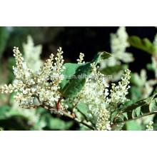¡¡Venta al por mayor!! Resveratrol (Polygonum cuspidatum) a granel, 20% -98%
