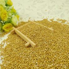 Milho de vassoura amarela Millet (milheto amarelo)