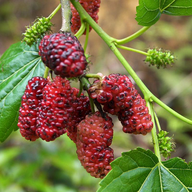 snack mulberry